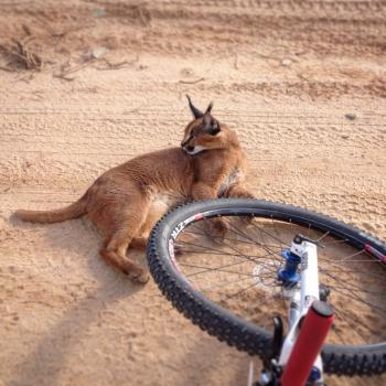 Caracal kittyness!
